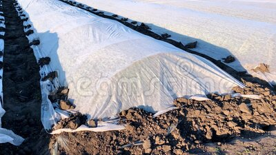 Campo di piantagione di patate coperto con agrofibre di spunbond e membrana in plastica per proteggere contro basse temperature archivi video