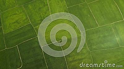 Campo do arroz de cima do zangão do voo Plantação aérea do arroz do verde do tiro na vila Indústria agricultural Cultivo e video estoque