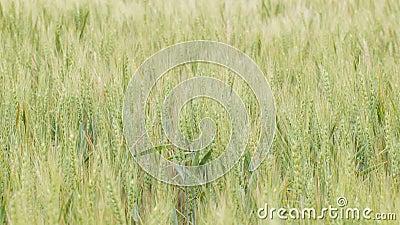 Campo dos spikelets que movem-se do vento, do conceito da natureza da beleza, das colheitas de grão agrícolas, da cevada e da col vídeos de arquivo