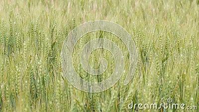 Campo dos spikelets que movem-se do vento, do conceito da natureza da beleza, das colheitas de grão agrícolas, da cevada e da col video estoque