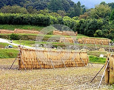 Campo japonês do arroz