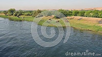 Campo rurale dal fiume con il bestiame del bufalo d'acqua in Africa stock footage