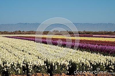 Campos das flores conservadas em estoque