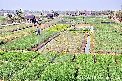 Campos de la cosecha Fotografía editorial