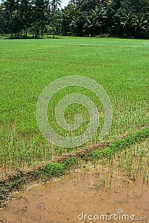 Campos del arroz