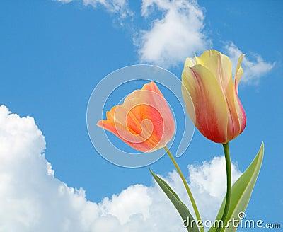 Campos del tulipán en Holanda