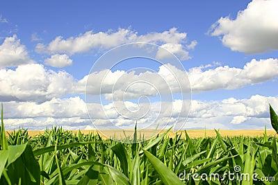Campos do verde e do ouro, céus azuis
