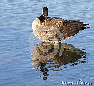 Free Canada Geese Stock Photos - 6481803