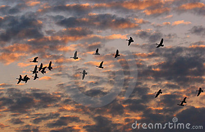 Canada Geese Flying at Sunset