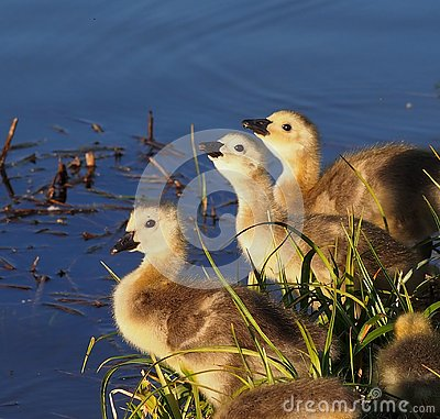 Free Canada Geese Goslings At Edge Of Pond Royalty Free Stock Photos - 132686268