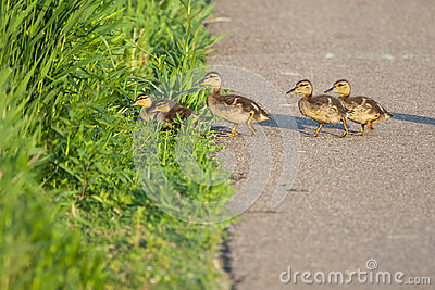 Canada Geese goslings in grass