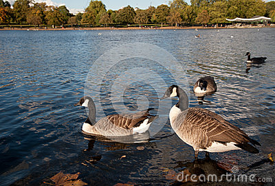 Canada Geese in Hyde Park