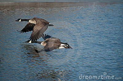 Canada Geese Skimming the Water