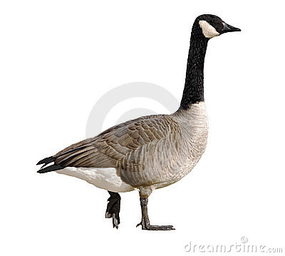 Free Canada Goose Stock Images - 3672634