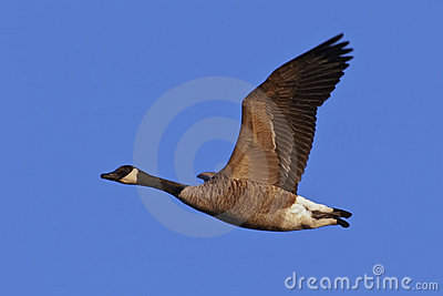 Canada Goose in Flight