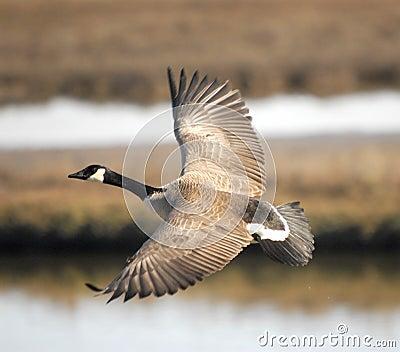 Canada Goose langford parka online store - Canada Goose Portrait Stock Photo - Image: 50607275