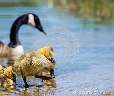 Canada Goose coats replica fake - Canada Goose Royalty Free Stock Image - Image: 31416846