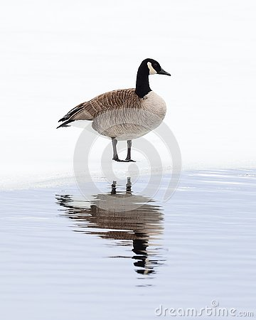 Free Canada Goose On Ice Royalty Free Stock Photos - 90042378