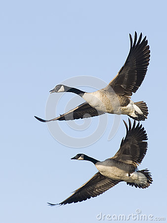 Free Canada Goose Pair Stock Photography - 24763042