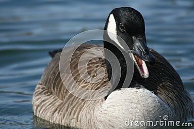 Canada goose quack