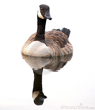 Free Canada Goose Reflected Royalty Free Stock Image - 10348856