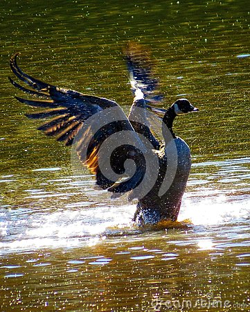 Free Canada Goose Spreading Wings Splashing In The Water Stock Photography - 133739472