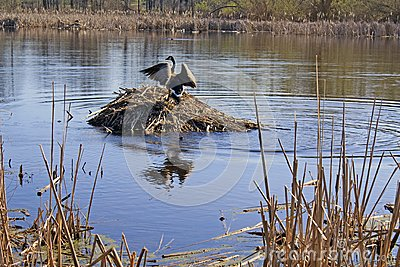 Canada Goose strutting atop a Muskrat Lodge