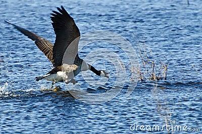 Canada Goose Taking to Flight
