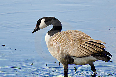Canada Goose Wading in the Water