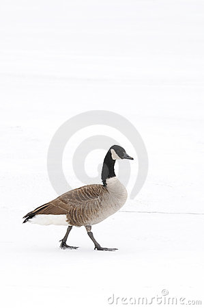 Free Canada Goose Walking In The Snow Stock Images - 12509644