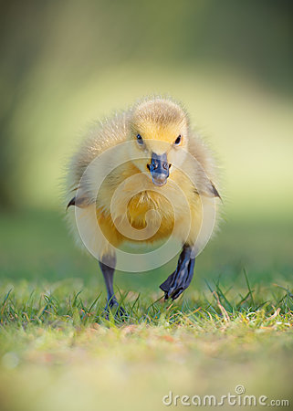 Free Canada Gosling Running Face On Stock Photo - 54106940