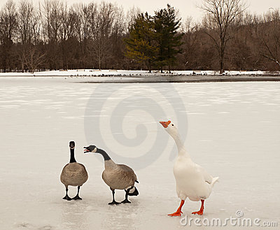 Canada and snow geese