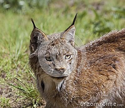 Canadese Lynx in de westelijke V.S.