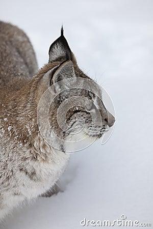 Canadese omhoog Dichte Lynx