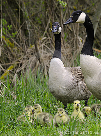 Free Canadian Geese Royalty Free Stock Photos - 17607848
