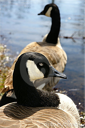 Free Canadian Geese Royalty Free Stock Image - 9221826
