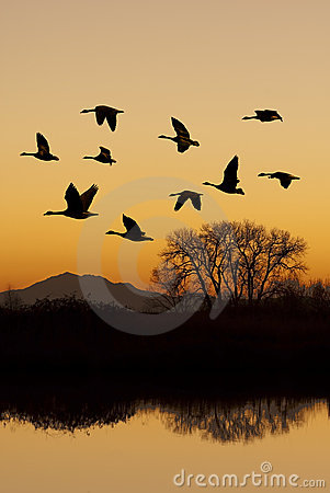 Canadian Geese in Flight