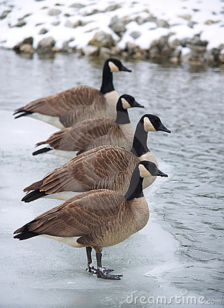 Free Canadian Geese Lined Up On An Ice Patch Royalty Free Stock Image - 6460876