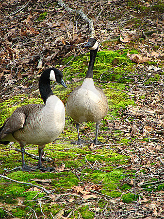 Free Canadian Geese, Pair Stock Images - 577124