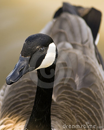 Free Canadian Goose Royalty Free Stock Images - 13781109