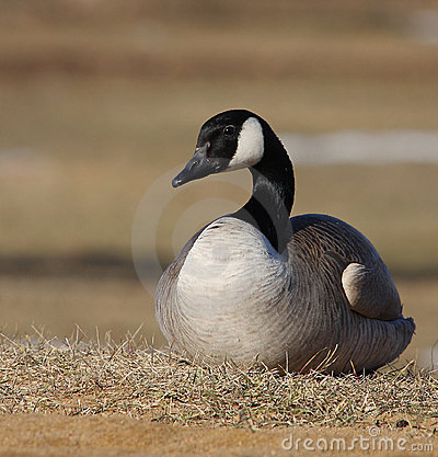 Free Canadian Goose Stock Photo - 13812790