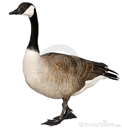 Free Canadian Goose Stock Photos - 14846373