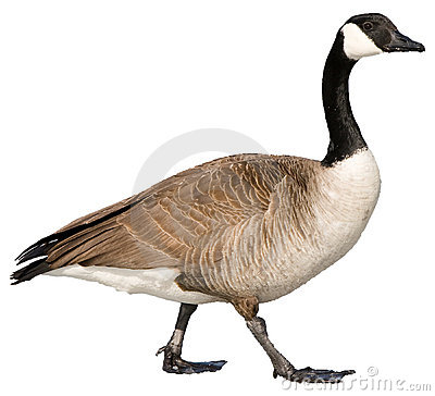 Free Canadian Goose Royalty Free Stock Photography - 14846377