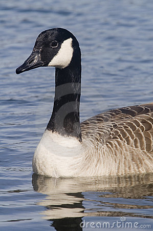 Free Canadian Goose Royalty Free Stock Photography - 2165737