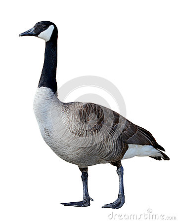 Free Canadian Goose Stock Photo - 27540490