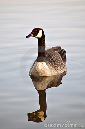 Free Canadian Goose Royalty Free Stock Photos - 284288