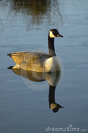 Free Canadian Goose Royalty Free Stock Images - 77049