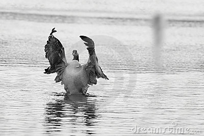 Canadian Goose flapping wings Stock Photo