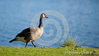 A Canadian Goose walking along a lake shore