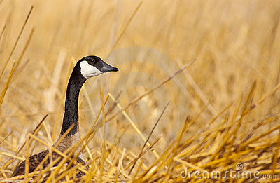 Canadian Goose in Wetlands